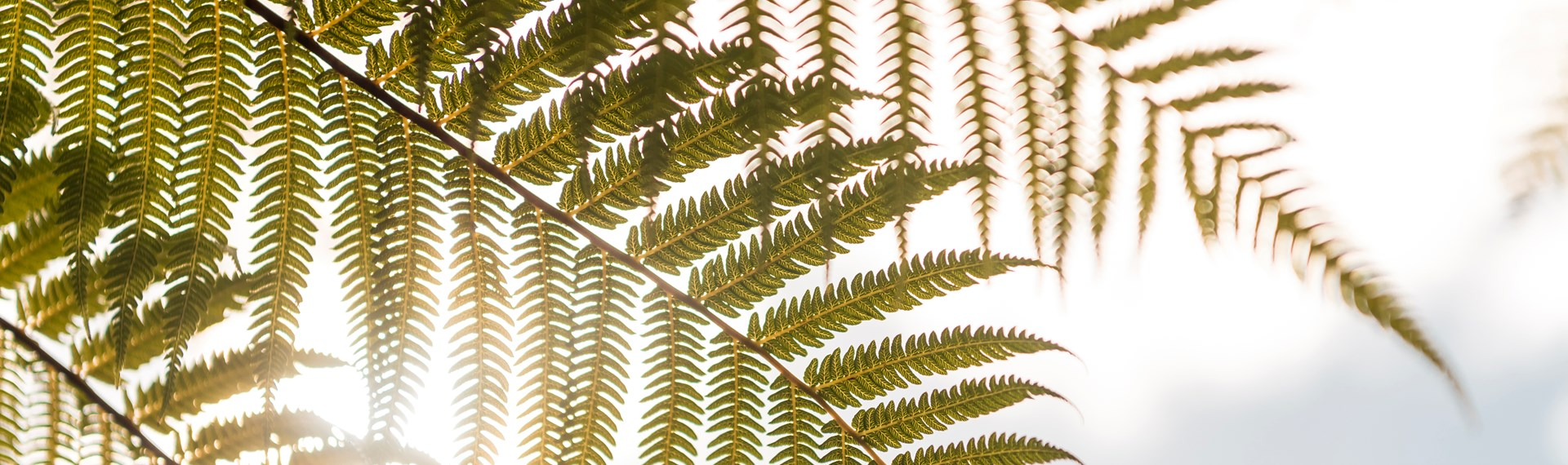 Native fern frond in the sun, Marlborough Sounds, New Zealand