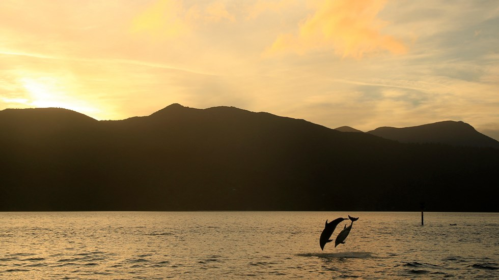Two dolphins jumping together at sunset in the Marlborough Sounds, at the top of New Zealand's South Island.